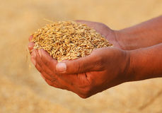 Hand holding golden paddy seeds Stock Photography