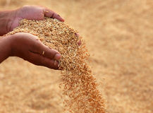 Hand holding golden paddy seeds Stock Photo