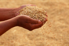 Hand holding golden paddy seeds Royalty Free Stock Photos