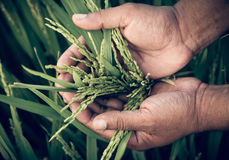 Hand holding golden paddy seeds Royalty Free Stock Photo