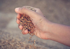 Hand holding golden paddy seeds Royalty Free Stock Images