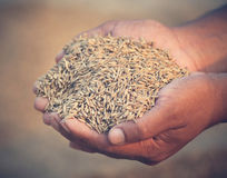 Hand holding golden paddy seeds Stock Image