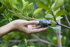 Hand holding a graft on green lemon branch Royalty Free Stock Photo