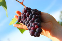 Hand holding grape clusters against blue sky Stock Photography
