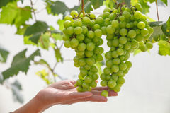 Hand holding grape tending Stock Photo