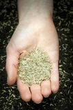 Hand holding grass seed Stock Photo