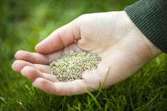 Hand holding grass seed. Grass seed for overseeding held in hand over green lawn stock images