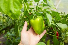 Hand is holding a green bell pepper paprika royalty free stock photography
