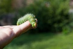 Hand holding green caterpillar/ Imperial moth caterpillar on sit Royalty Free Stock Image