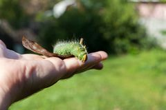 Hand holding green caterpillar/ Imperial moth caterpillar on sit Stock Images