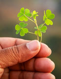 Hand holding green clover leaves. Outdoor royalty free stock image