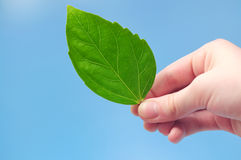 Hand holding green leaf stock photography