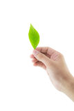 Hand holding green leaf isolated on white background. Stock Images
