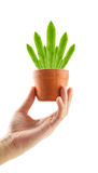 Hand holding green leaves of Bird's Nest Fern in flower pot Stock Photo