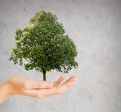 Hand holding green oak tree over gray background Stock Photo