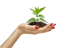 Hand holding green plant Royalty Free Stock Photography