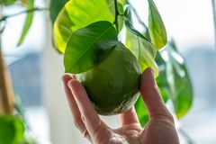 Hand holding green ripe raw lime with leaves on a tree branch closeup . Concept of growing fresh citrus fruit. Hand holding green ripe raw lime with leaves on a royalty free stock photography