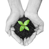 Hand holding green sapling with soil Royalty Free Stock Image