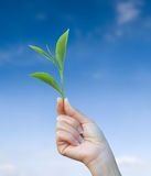 Hand holding green tea leaf royalty free stock images