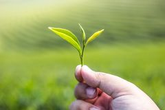 Hand holding green tea leaf with green tea plantation background royalty free stock photography
