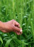 Hand holding green wheats Stock Photos
