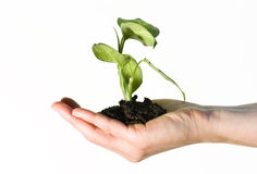 Hand holding a gren plant Royalty Free Stock Photo