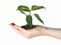 Hand holding a gren plant. Isolated on white Royalty Free Stock Photo