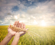Hand holding harvested paddy Royalty Free Stock Image