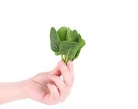 Hand holding heap of spinach. Royalty Free Stock Photography