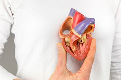 Hand holding heart model in front of chest. Female hand showing plastic heart model in front of body Stock Image