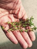 Hand holding herbs Royalty Free Stock Photo