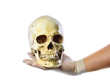 Hand holding human skull on white background Stock Photo
