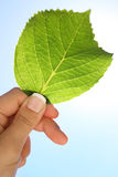 Hand holding a Hydrangea leaf Stock Photography