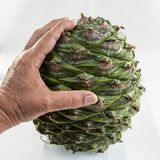 Bunya Pine Cone. Hand holding a large cone of the bunya pine, Araucaria bidwillii, for scale. Same description as the previous image Royalty Free Stock Images