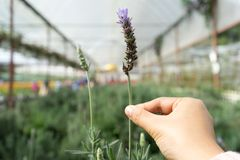 Hand holding the beautiful lavender. Hand holding lavender with lavender farm background. The image contain soft focus, noise and grain Stock Image