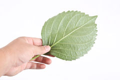 Hand holding leaf. Concept isolated white background Stock Images
