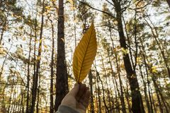 Hand holding leaf against sky on forrest background. A hand of a male caucasian holding the leaf of a chestnut tree against the sky in a forrest Stock Image