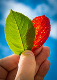 Hand holding leaves Royalty Free Stock Photo