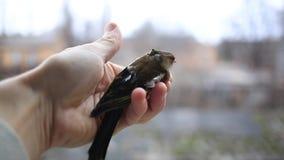 Hand holding little bird stock video footage