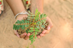 Hand holding little tree. Two hand holding little tree,concept develop green earth Royalty Free Stock Images
