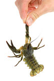 Hand holding live crawfish Royalty Free Stock Photography