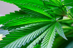 Hand is holding Macro of Marijuana green fresh large leafs ( can royalty free stock photo