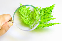 Hand holding a magnifying glass through which you can see Leaves Stock Photo