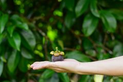 Hand holding mangosteen fruit. stock photography