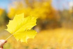 Fingers holding a maple leaf in the sun. Leaf in hand in the sunny forest Stock Image