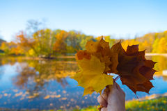 Hand holding maple leafs on autumn background Royalty Free Stock Photo