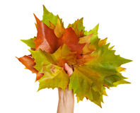 Hand holding maple leaves Stock Image