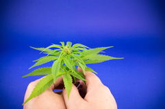Hand holding Marijuana plant stock image