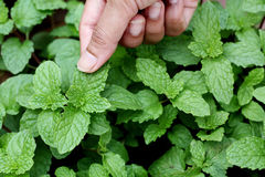 Hand holding mint leaves Stock Photography