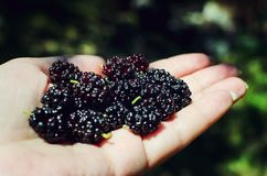 Hand holding mulberries with sun light in the garden. soft focus to mulberries royalty free stock photos